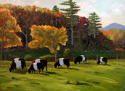 belted galloway cows camden maine